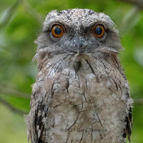 Tawny Frogmouth Owl