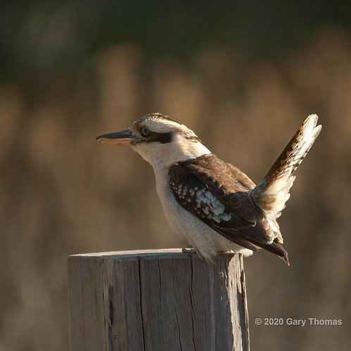Kookaburra at Sunset
