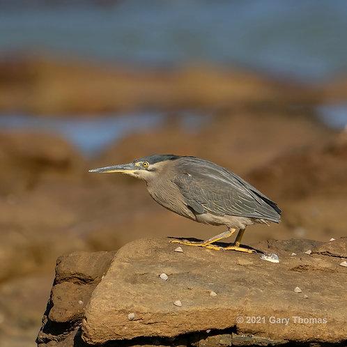 Striated Heron (03-300)