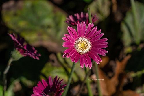 Barberton_Daisy (02-300)