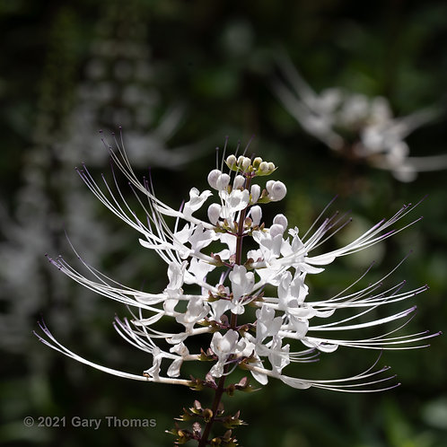 Cats Whiskers Flower