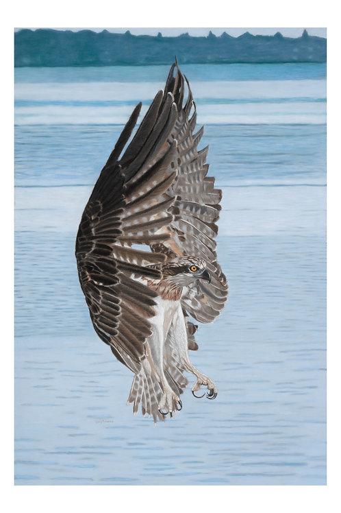 Pastel painting: Osprey in Flight