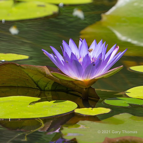 Water Lily and bee