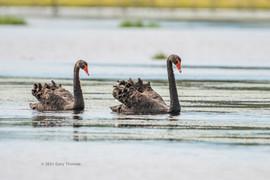 Black_Swan_05_3.jpg