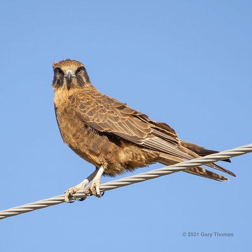 Brown Falcon (03-300)