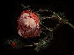 Sopra la Rosa