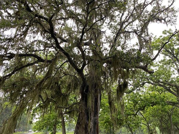 The Masonic Oak