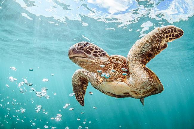 Sea Turtle Tamarindo Beach