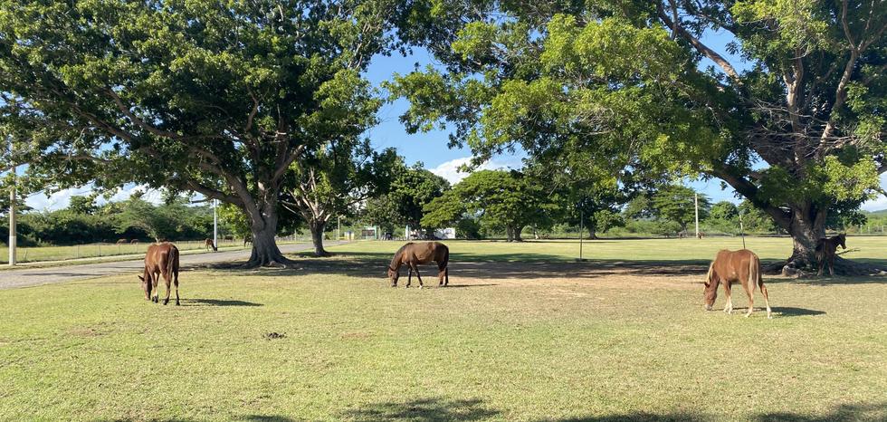 Wild Horses around Vieques