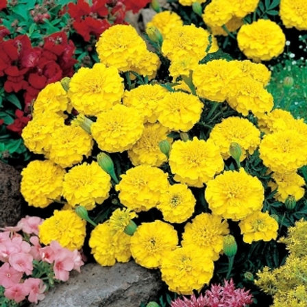 French Marigold: Yellow Flat