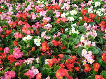 Begonia: Mixed Flat