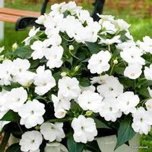 SunPatiens Hanging Basket: White