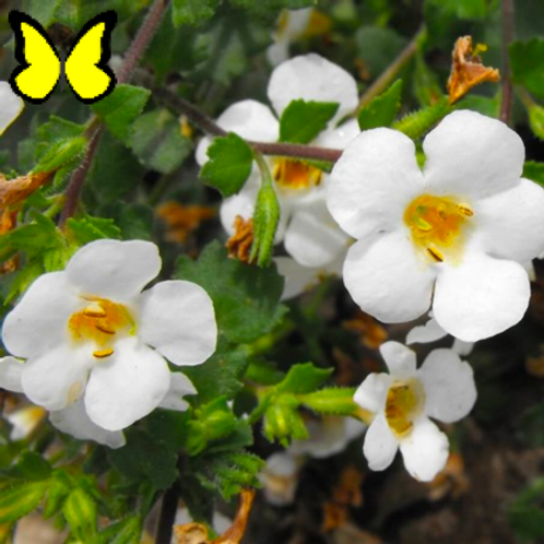 Bacopa: White Pot