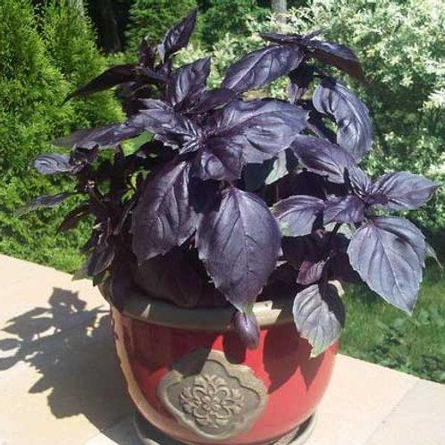 Basil (Purple)