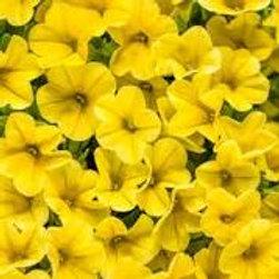 Calibrachoa: Yellow Hanging Basket