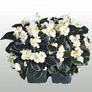 Begonia: White Fibrous Flat