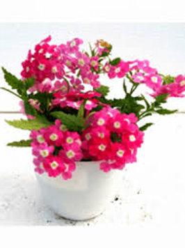 Verbena: Pink Pot