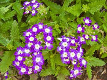 Verbena: Purple Pot