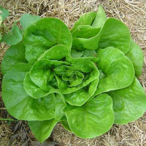 Lettuce Pack: Buttercrunch