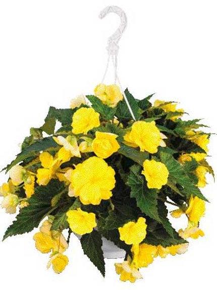 Begonia: Yellow Hanging Basket