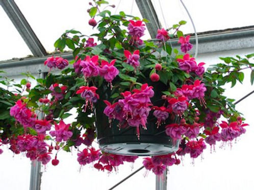 Fuchsia: Purple/Red Hanging Basket
