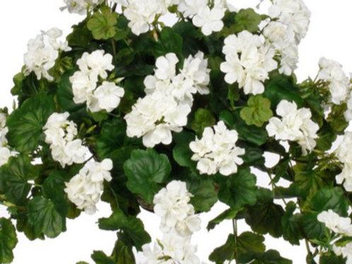 Geranium: White Pot
