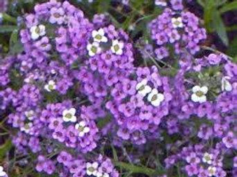 Alyssum: Purple Flat