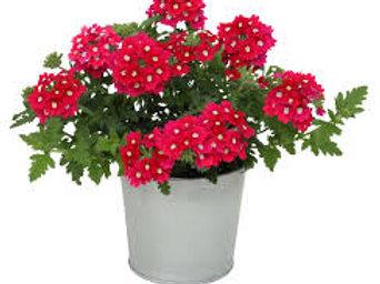 Verbena: Red Pot