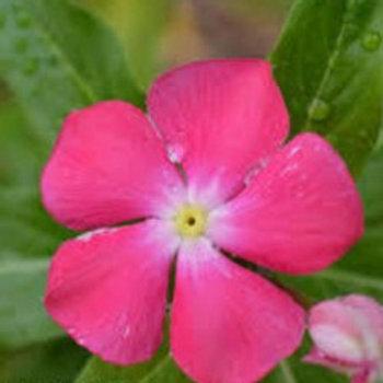 Vinca: Pink Flat