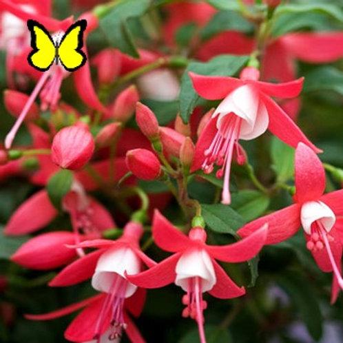 Fuchsia: Red/White Hanging Basket