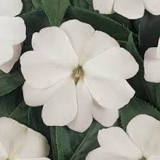 New Guinea Impatiens: White Pot
