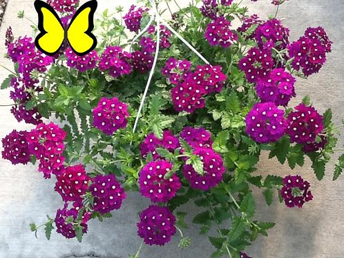 Verbena: Purple Hanging Basket