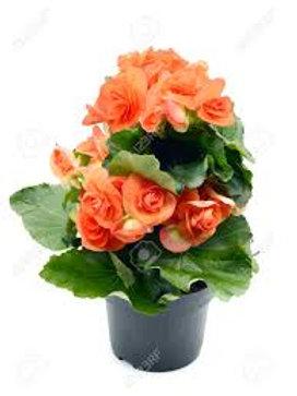 Begonia: Orange (Tuberous) Pot
