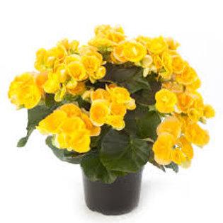 Begonia: Yellow (Tuberous) Pot