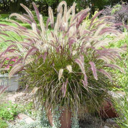 Purple Fountain Grass Gallon Pot
