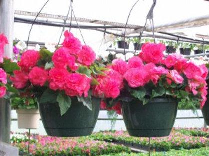 Begonia: Pink Hanging Basket
