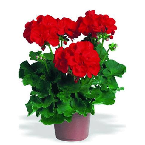 Geranium: Red Pot