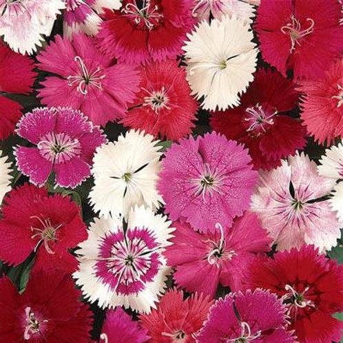 Dianthus: Mixed Flat
