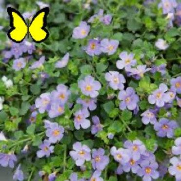 Bacopa: Blue Pot