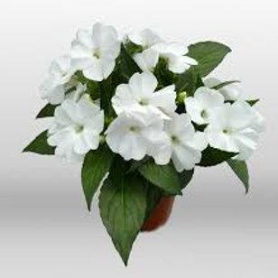 SunPatiens: White Pot