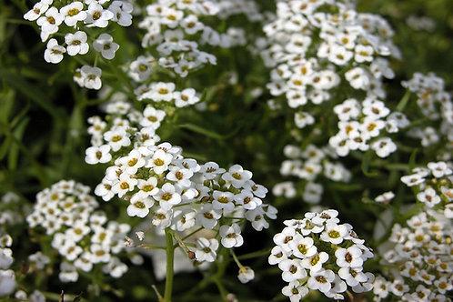 Alyssum: White Flat