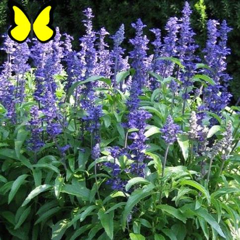 Salvia: Blue Flat
