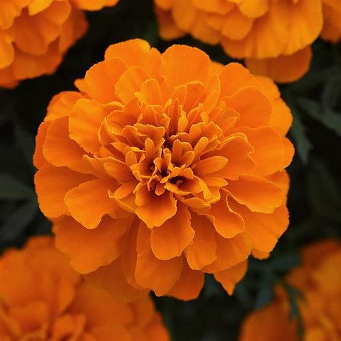 French Marigold: Orange Flat