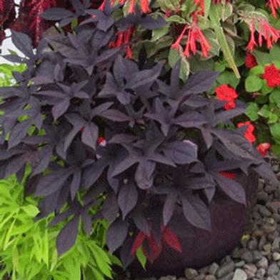 Sweet Potato: Purple Vine Pot