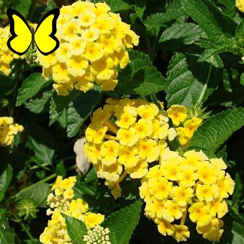 Lantana: Yellow Pot