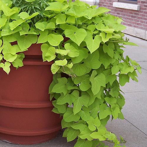 Sweet Potato: Yellow Vine Pot