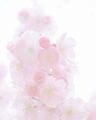 Sakura-flower-in-Japan-Cherry-blossom-The-most-famous-species-of-Japanese-cherry-Prunus-se