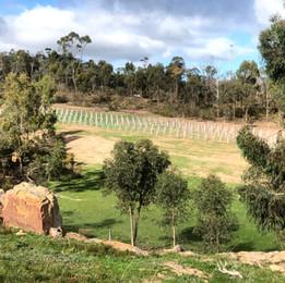 New Monastrell vineyard 2019