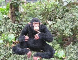 chimpanzee1