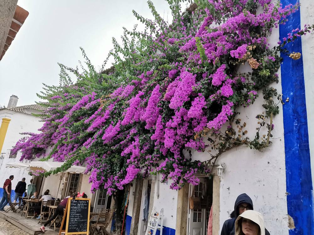 Bougainvillea ou Primavera em flor na cidade de Óbidos